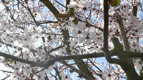 Spring flowers with blue background stock video footage