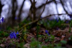 Free Spring Flowers - Blue Copses-bloom In The Forest On A Rainy, Gloomy Day Stock Photos - 216148583