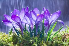 Spring flowers of blue crocuses in drops of water on the background of tracks of rain drops.