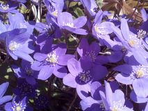 Spring flowers blue Stock Image