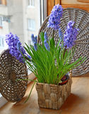 Spring flowers blue hyacinths in basket Royalty Free Stock Photography