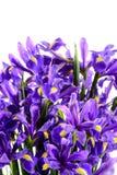 Spring flowers blue iris Royalty Free Stock Photos
