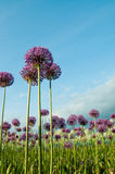 Spring Flowers and Blue Sky. A field of puple and white allium flowers reaching up into a bright blue sky.  Vertical. Copy space Stock Photography