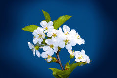 Spring Flowers Blue Sky. Branch of white spring cherry blossom over blue sky stock photos
