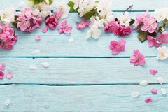 Spring flowers on blue wooden background. Pink spring flowers on blue wooden background Royalty Free Stock Photo