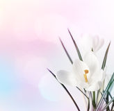 Spring flowers on blur background. Stock Photo
