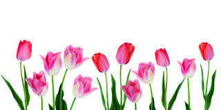 Spring Flowers Border - Banner Pink Tulips In Row On White Background With Copy Space. Wide spring flowers banner pink tulips with leaves in a row isolated on Stock Image