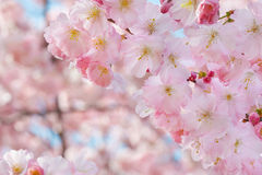 Spring flowers border with pink blossom. Spring flowers border on background with pink blossom Royalty Free Stock Photos