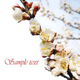 Spring flowers border with sample text Royalty Free Stock Photo