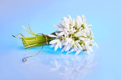Spring flowers. Bouquet of snowdrops on a blue background. royalty free stock image