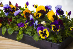 Spring flowers in box. Spring flower in plastic box Royalty Free Stock Photography