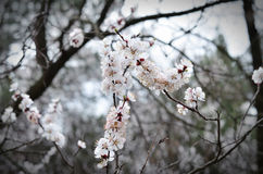 Spring flowers.A branch of apricot flowers. Stock Photos