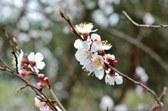 Spring flowers. A branch of apricot flowers. Royalty Free Stock Photo