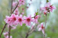 Spring flowers on branch, peach blossom Royalty Free Stock Image
