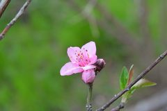 Spring flowers on branch, peach blossom Stock Images