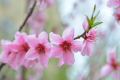 Spring flowers on branch, peach blossom Royalty Free Stock Photography