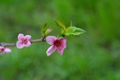 Spring flowers on branch, peach blossom Stock Photos