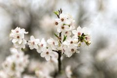 Spring flowers on branch tree. Blossoming apricot with some blur royalty free stock images