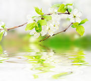 Spring flowers on branch on water waves Royalty Free Stock Photo