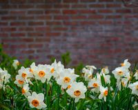 Free Spring Flowers Brick Wall Background Stock Photography - 147926812