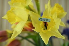 Fresh flowers of daffodils with words or text for happy birthday. Spring flowers of bright yellow daffodils and background red tulips. With a cute miniature royalty free stock photography