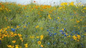 Spring Flowers. Brightly colored wildflowers in the grass beneath the blue sky Stock Images
