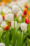 Spring Flowers bunch. Beautiful white tulips bouquet. Royalty Free Stock Images