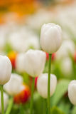Spring Flowers bunch. Beautiful white tulips bouquet. Royalty Free Stock Image