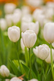 Spring Flowers bunch. Beautiful white tulips bouquet. Royalty Free Stock Photo