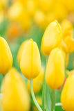 Spring Flowers bunch. Beautiful yellow tulips bouquet. Stock Photo