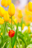 Spring Flowers bunch. Beautiful yellow tulips bouquet. Stock Images