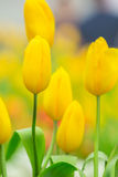Spring Flowers bunch. Beautiful yellow tulips bouquet. Stock Photography