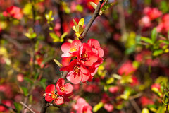 Spring flowers. Bunch of blooming red flowers on fruit tree Stock Photos