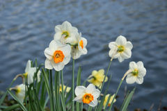 Spring flowers. Bunch of daffodil, spring flowers on the pond Royalty Free Stock Images