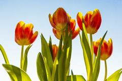 Spring flowers - bunch of orange tulip flowers on blue sky background royalty free stock photo