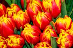 Bouquet of red-yellow tulips Royalty Free Stock Photos