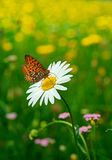 Spring in flowers and butterfly. A butterly stays on a daisy in a grass with flowers Royalty Free Stock Photo