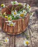 Spring flowers of camomile Stock Photography
