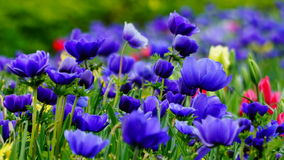 Spring flowers : a a carpet of blue annemonae on a green background royalty free stock image
