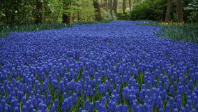 Spring flowers:  a carpet of  blue muscari flower in the shape of a river between the trees Royalty Free Stock Photo
