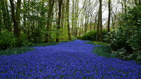 Spring flowers:  a carpet of  blue muscari flower in the shape of a river between the trees Stock Photo