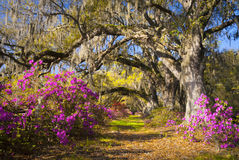 Spring Flowers Charleston SC Azalea Blooms South. Spring Flowers Charleston SC Azalea Blooms Deep South Landscape Photography with live oak trees in morning royalty free stock images