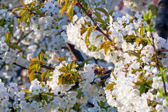 Spring flowers - cherry tree Stock Image