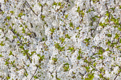 Spring flowers - cherry tree Stock Photography