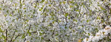 Spring flowers - cherry tree Stock Photos