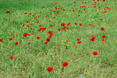 Spring flowers in city park. Red poppies have exploded in the central park of the city of Tel Aviv Stock Photography