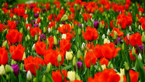 Spring flowers: a close up of a bright red tulip in the spring season stock image