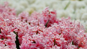Spring flowers:  a close up of soft pink hyacinth with blurred white hyacinth in the background Stock Images