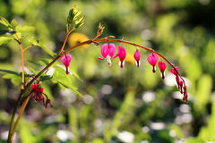 Spring flowers closeup, Dicentra spectabilis, bleeding heart flo Royalty Free Stock Image