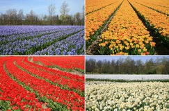 Spring flowers collage. Dutch landscape. Stock Image